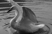 pic of black swan  - A black and white image of a white swan flapping it - JPG