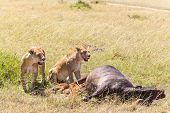 stock photo of female buffalo  - Lions Feeding  - JPG