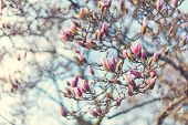 Blossoming of magnolia flowers in spring time, retro vintage image