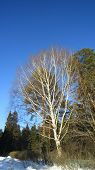 stock photo of birching  - Old birch tree and spring sunny weather - JPG