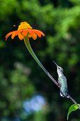 longing stem hummingbird