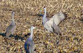 Sandhill crane flapping