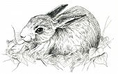 image of sweetie  - Little cute bunny in a black and white realistic illustration - JPG