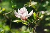 stock photo of magnolia  - Blossoming of magnolia flowers in spring time - JPG