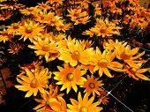 Bright Orange Sunflowers