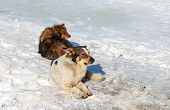 Stray Dogs Resting On The Snow In Winter Day