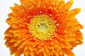 Orange daisy on white background