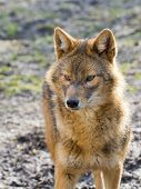 image of jackal  - European golden jackal  - JPG