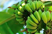 pic of banana tree  - banana tree with fruits in the blue sunny sky - JPG