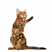 Bengal Cat  Sitting And Raising Up Paw