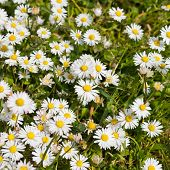 Composition of chamomile in a grass