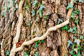 pic of ivy vine  - Ivy Hedera helix or European ivy climbing on rough bark of a tree - JPG