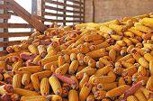 Corn pile