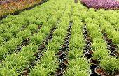 Green Plant In A Pot Nursery
