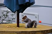 Grey Squirrel Eating A Tea-biscuit.