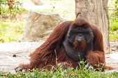 pic of orangutan  - Bornean orangutan  - JPG