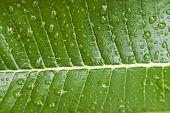 Rain drops on a tropical leaf in Suphan Buri Thailand.