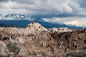 picture of sea lion  - King Cormorant colony sits on an Island in the Beagle Channel - JPG