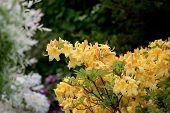 stock photo of azalea  - Yellow azalea Rhododendron bush in blossom in spring garden - JPG
