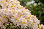 pic of azalea  - White azalea Rhododendron bush in blossom in spring garden - JPG