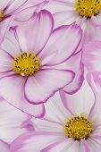 pic of cosmos flowers  - Studio Shot of Fuchsia and White Colored Cosmos Flowers Backgrounds - JPG