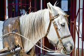 picture of harness  - Closeup of the head of a domestic white harness horse - JPG