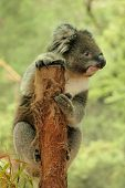 stock photo of koala  - Koala on a tree stump holding look out and looking very cute to the side - JPG
