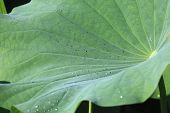 stock photo of ponds  - Lotus leaf and dew - JPG