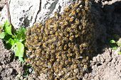 stock photo of swarm  - a big swarm of bees sitting on a tree trunk - JPG