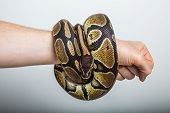 stock photo of coil  - Closeup of a royal or ball python coiled around the arm of a person with a studio background - JPG