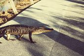 stock photo of alligators  - Alligator in Florida - JPG
