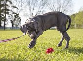 pic of great dane  - Grey Great Dane puppy on a leash going after a ball - JPG