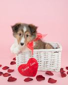 image of collie  - Super cute Collie puppy sitting in a basket with rose petals and a heart shaped pillow with puppy love wrote on the pillow - JPG