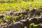foto of buckwheat  - Beautiful close up of young buckwheat sprouts growing on field - JPG