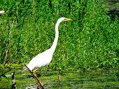 image of marshes  - great egret walking on the green the marsh - JPG