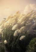 pic of pampas grass  - Pampas grass in the wind during sunset - JPG