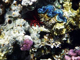 picture of under sea  - Picture under water Coral reef with Mollusc and Sea hedgehog  (underwater photography in Egypt on diving (snorkeling) in red sea by Sharks Bay