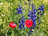 Or Yehuda Poppies And Aconitum 2011