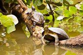Turtles Sunbathing On Log In Water