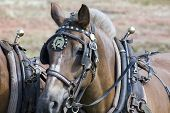 stock photo of workhorses  - Work horse with harness in a field - JPG