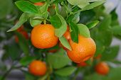 stock photo of orange-tree  - A close up macro shot of oranges on a tree - JPG