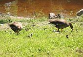 Grey Goose (Anser anser) a family of ducks