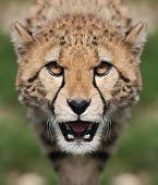 Portrait of a Cheetah - Acinonyx jubatus