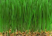 Grass With Seeds 1
