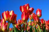 Постер, плакат: Яркие красные тюльпаны