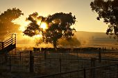 Early Morning Cattle