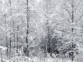 Snow. Branches of birch trees.