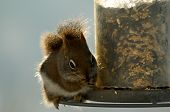 Red Squirrel At Feeder