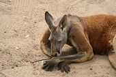 Kangaroo In The Sand