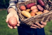 Hands holding potatoes on the basket organic produce from farm poster
